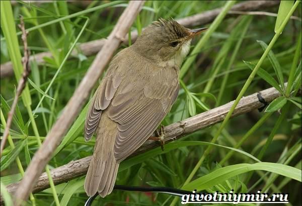 Птицы-Красной-книги-России-26