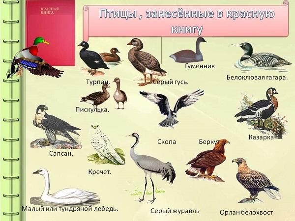 Птицы-Красной-книги-России-31