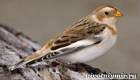 Пуночка-птица-Образ-жизни-и-среда-обитания-пуночки-1