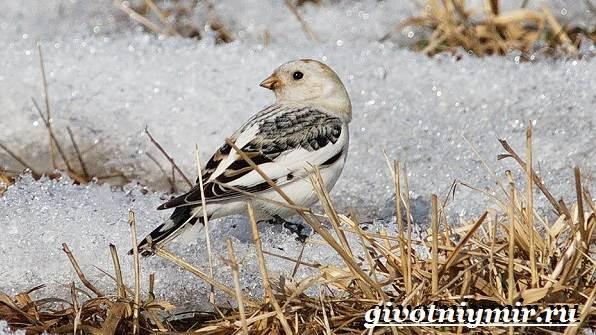 Пуночка-птица-Образ-жизни-и-среда-обитания-пуночки-11