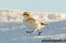 Пуночка птица. Образ жизни и среда обитания пуночки