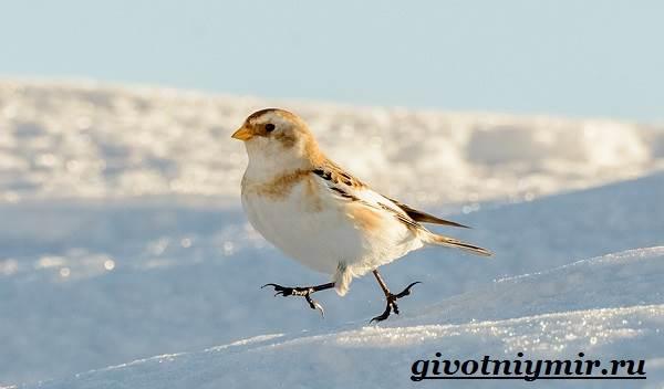 Пуночка-птица-Образ-жизни-и-среда-обитания-пуночки-2