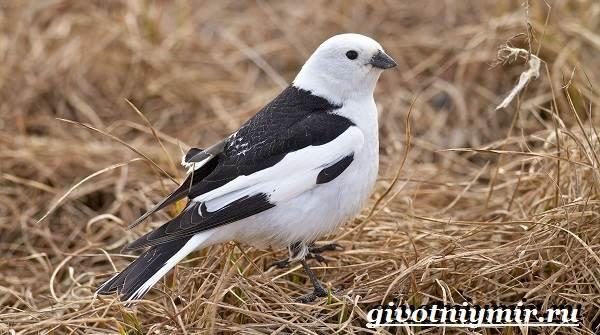Пуночка-птица-Образ-жизни-и-среда-обитания-пуночки-3