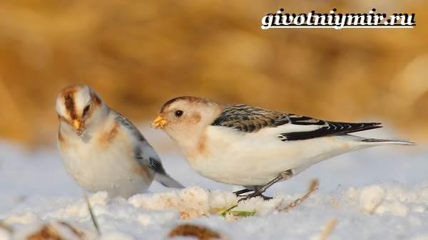 Пуночка-птица-Образ-жизни-и-среда-обитания-пуночки-5