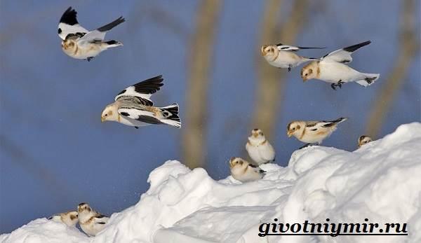 Пуночка-птица-Образ-жизни-и-среда-обитания-пуночки-8