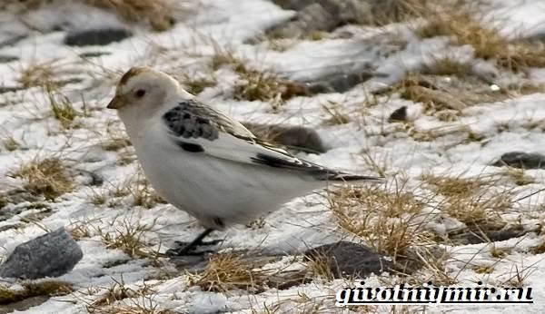 Пуночка-птица-Образ-жизни-и-среда-обитания-пуночки-9