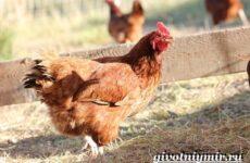 Родонит порода кур. Описание, виды, уход и цена породы родонит