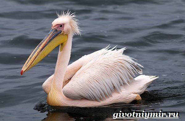Розовый-пеликан-Образ-жизни-и-среда-обитания-розового-пеликана-1