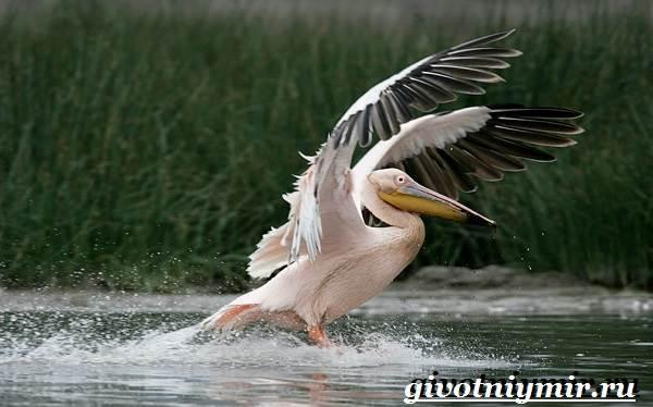 Розовый-пеликан-Образ-жизни-и-среда-обитания-розового-пеликана-4