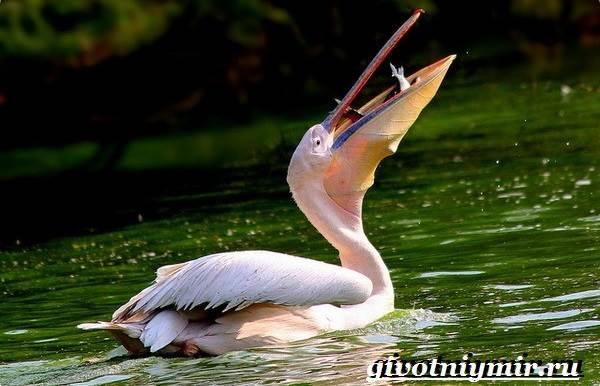 Розовый-пеликан-Образ-жизни-и-среда-обитания-розового-пеликана-6