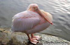 Розовый пеликан. Образ жизни и среда обитания розового пеликана