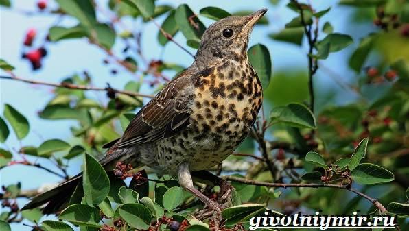 Рябинник-птица-Образ-жизни-и-среда-обитания-птицы-рябинник-1