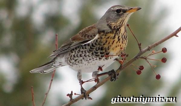 Рябинник-птица-Образ-жизни-и-среда-обитания-птицы-рябинник-2