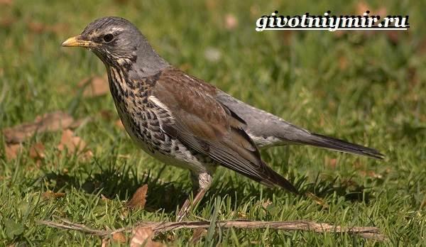 Рябинник-птица-Образ-жизни-и-среда-обитания-птицы-рябинник-3