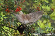 Рябинник птица. Образ жизни и среда обитания птицы рябинник