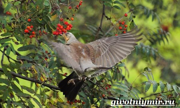 Рябинник-птица-Образ-жизни-и-среда-обитания-птицы-рябинник-4