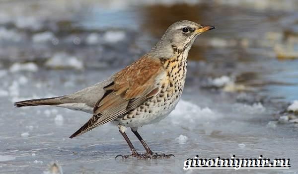 Рябинник-птица-Образ-жизни-и-среда-обитания-птицы-рябинник-5