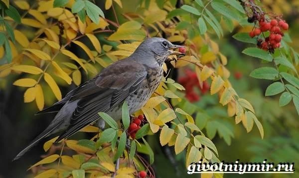 Рябинник-птица-Образ-жизни-и-среда-обитания-птицы-рябинник-6
