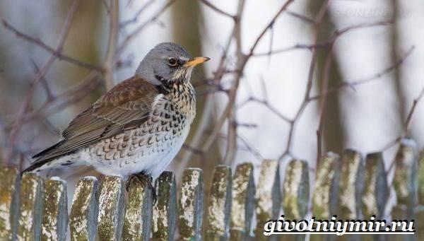 Рябинник-птица-Образ-жизни-и-среда-обитания-птицы-рябинник-7