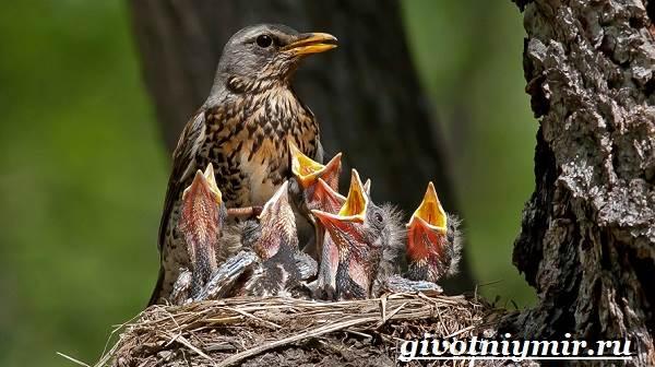 Рябинник-птица-Образ-жизни-и-среда-обитания-птицы-рябинник-8