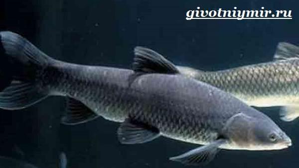 Рыбы-Красной-книги-России-12