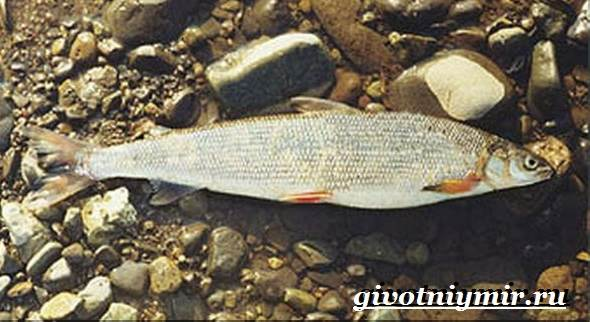 Рыбы-Красной-книги-России-7