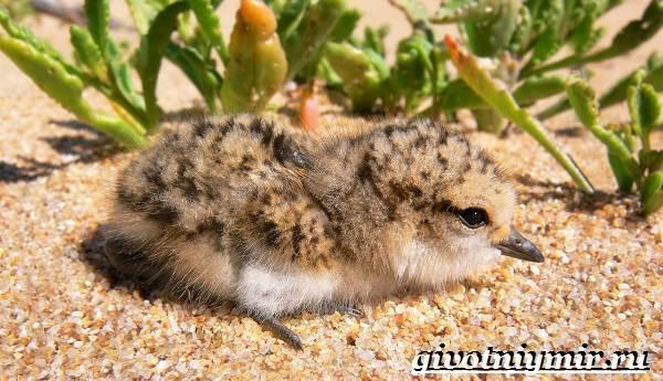 Ржанка-птица-Образ-жизни-и-среда-обитания-ржанки-10