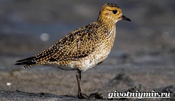 Ржанка-птица-Образ-жизни-и-среда-обитания-ржанки-2