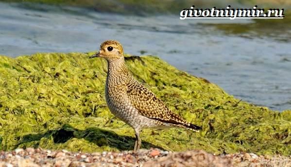 Ржанка-птица-Образ-жизни-и-среда-обитания-ржанки-5