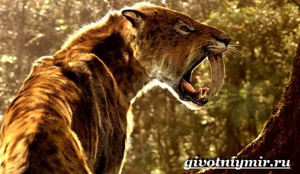 Саблезубый-тигр-Описание-особенности-среда-обитания-саблезубых-тигров-1