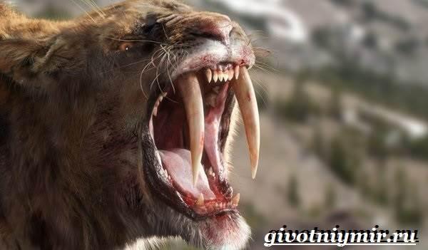 Саблезубый-тигр-Описание-особенности-среда-обитания-саблезубых-тигров-2