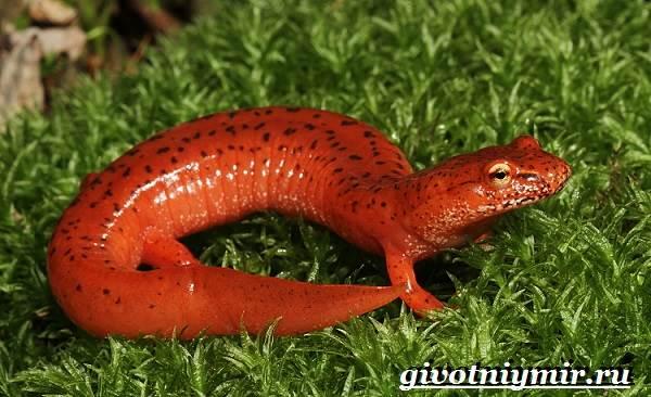 Саламандра-животное-Образ-жизни-и-среда-обитания-саламандры-7