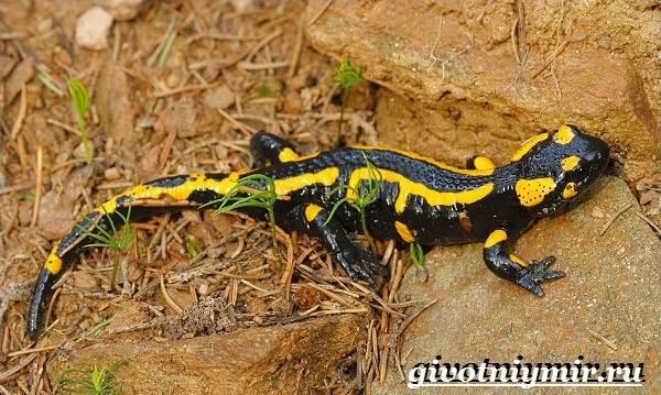 Саламандра-животное-Образ-жизни-и-среда-обитания-саламандры-8