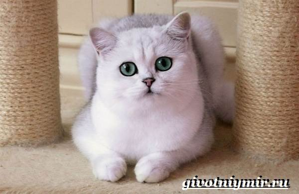 Серебристая-шиншилла-кошка-Описание-уход-и-цена-кошки-серебристая-шиншилла-1