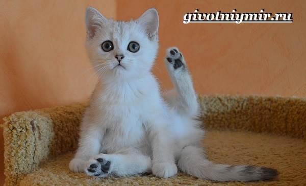 Серебристая-шиншилла-кошка-Описание-уход-и-цена-кошки-серебристая-шиншилла-12