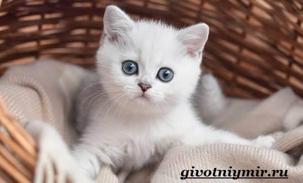 Серебристая-шиншилла-кошка-Описание-уход-и-цена-кошки-серебристая-шиншилла-13