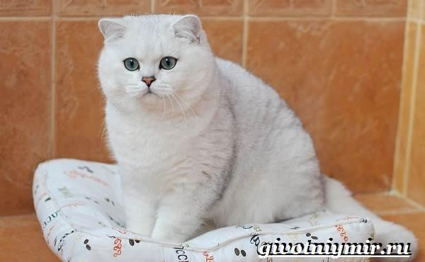 Серебристая-шиншилла-кошка-Описание-уход-и-цена-кошки-серебристая-шиншилла-2
