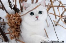 Серебристая шиншилла кошка. Описание, уход и цена кошки серебристая шиншилла