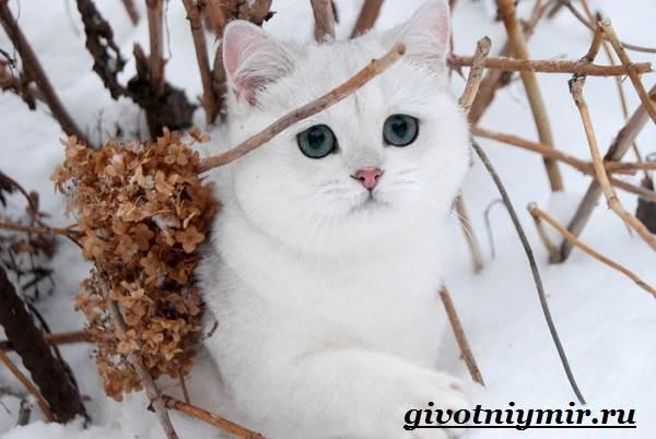 Серебристая-шиншилла-кошка-Описание-уход-и-цена-кошки-серебристая-шиншилла-3