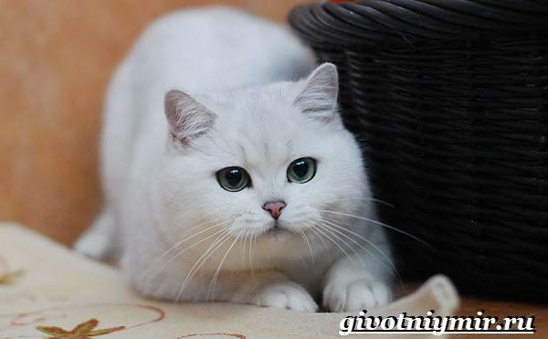 Серебристая-шиншилла-кошка-Описание-уход-и-цена-кошки-серебристая-шиншилла-4