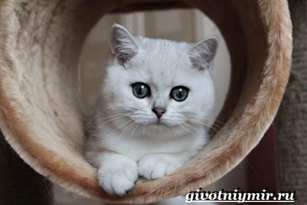 Серебристая-шиншилла-кошка-Описание-уход-и-цена-кошки-серебристая-шиншилла-5