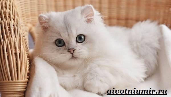 Серебристая-шиншилла-кошка-Описание-уход-и-цена-кошки-серебристая-шиншилла-6