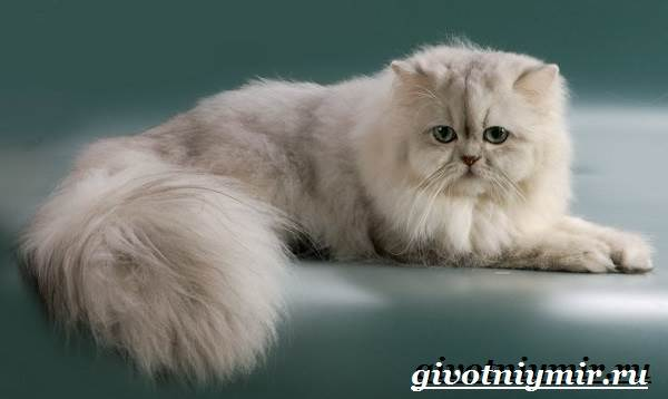 Серебристая-шиншилла-кошка-Описание-уход-и-цена-кошки-серебристая-шиншилла-7