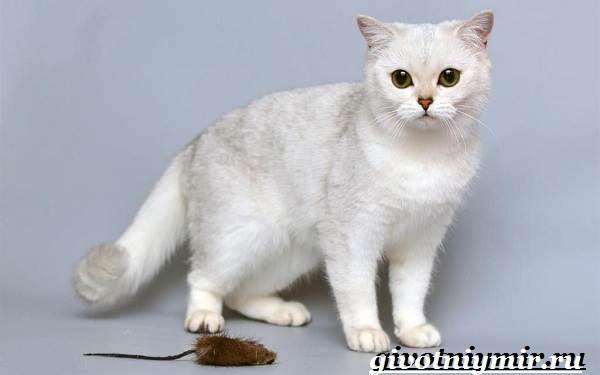 Серебристая-шиншилла-кошка-Описание-уход-и-цена-кошки-серебристая-шиншилла-8