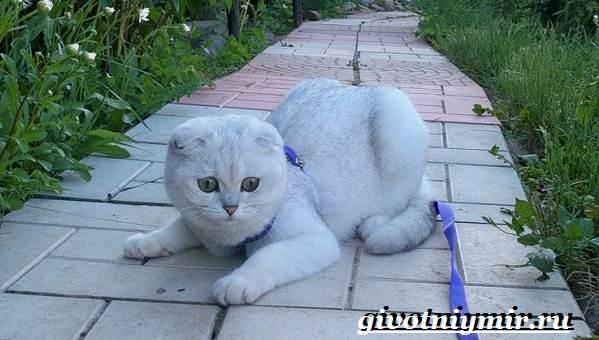 Серебристая-шиншилла-кошка-Описание-уход-и-цена-кошки-серебристая-шиншилла-9