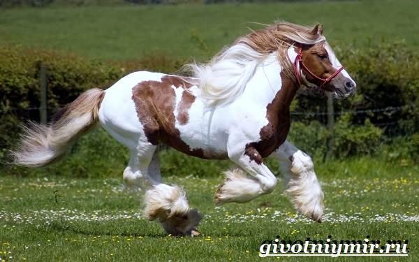 Шайр-лошадь-Описание-особенности-уход-и-цена-лошади-шайр-1