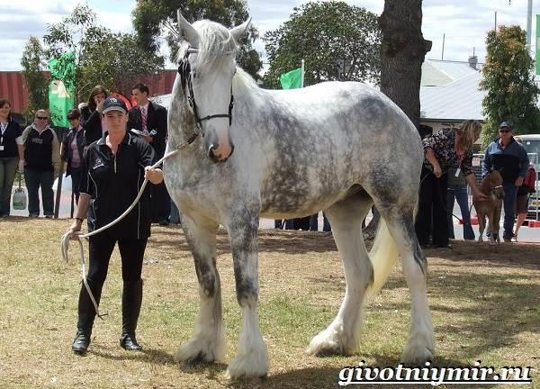 Шайр-лошадь-Описание-особенности-уход-и-цена-лошади-шайр-3