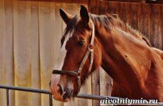 Шайр лошадь. Описание, особенности, уход и цена лошади шайр