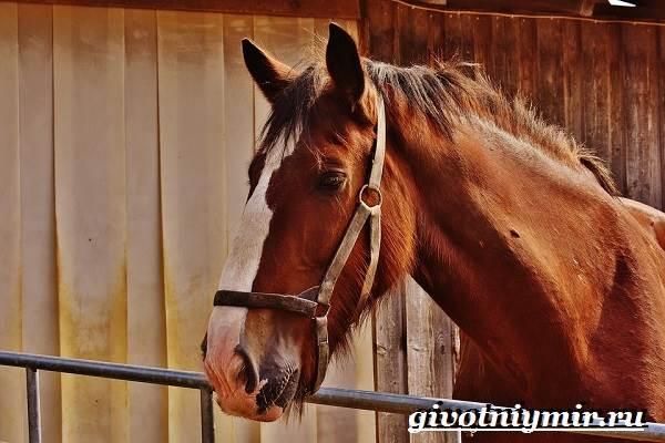 Шайр-лошадь-Описание-особенности-уход-и-цена-лошади-шайр-4