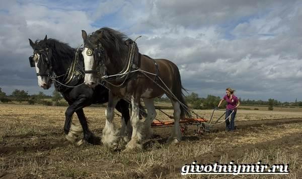 Шайр-лошадь-Описание-особенности-уход-и-цена-лошади-шайр-5
